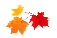Autumn color maple leaves Royalty Free Stock Photography