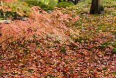 Autumn color maple leaves Stock Photo
