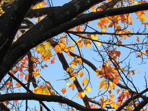 Autumn Color Maple Tree Branches Against Blue Sky Royalty Free Stock Photos