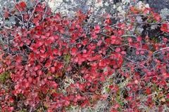 Autumn color palette in tundr. A - Yakutia, Siberia Royalty Free Stock Photo