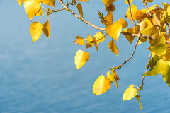 Autumn color of poplar leaves background Stock Images