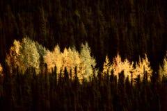 Autumn colored Aspens Stock Image