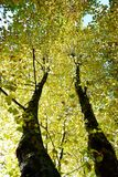Autumn colored beech trees Stock Images