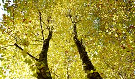 Autumn colored beech trees Stock Photo