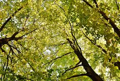 Autumn colored beech trees Stock Image