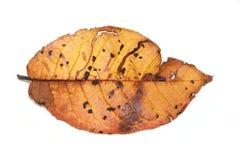 Fallen leaf Stock Images