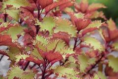 Autumn Colored Coleus Lizenzfreies Stockbild