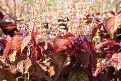 Autumn colored Coleus in bloom Royalty Free Stock Photo