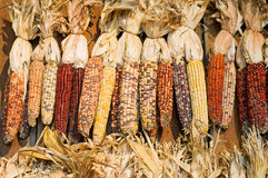 Autumn colored corn. An autumn display of colored or decorative corn Royalty Free Stock Photos