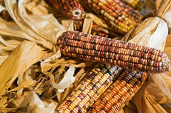 Autumn colored corn. An autumn display of colored or decorative corn Stock Images