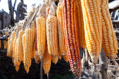 Autumn colored corn Stock Photography