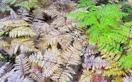 Autumn Colored ferns Stock Photos