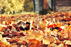 Autumn colored landscape with carpet of fallen maple leaves under the sunlight Stock Photos