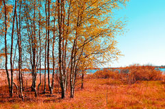 Autumn colored landscape - small birch forest in autumn sunny weather. Picturesque autumn view. Stock Photo
