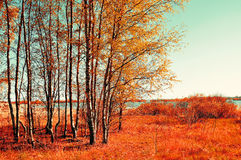 Autumn colored landscape - small birch forest in autumn sunny weather. Picturesque autumn view. Royalty Free Stock Image