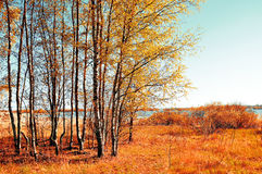 Autumn colored landscape - small birch forest in autumn sunny weather. Picturesque autumn view. Stock Image
