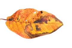 Autumn colored leaf Royalty Free Stock Photography