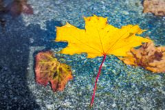 Autumn colored leave in gold yellow float in a fountain stock photos