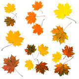 Autumn colored leaves Stock Photography