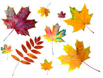 Autumn colored leaves. Autumn fall colored leaves collection, isolated Royalty Free Stock Images