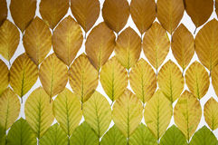 Autumn colored leaves Royalty Free Stock Photography