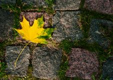 Maple leaves in the light of sunlight fell on the stone blocks with moss. royalty free stock images
