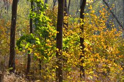 Autumn colored leaves. Autumn colored leaves on the little trees in a forest royalty free stock photo