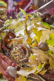 Autumn. Colored leaves with chestnuts and acorns Stock Image