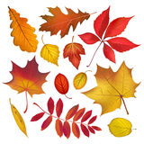 Autumn colored leaves collection. Autumn colored leaves isolated on white background collection. Vector fall objects illustration Stock Photos