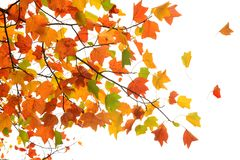 Autumn colored leaves isolated on white royalty free stock photos