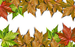 Autumn colored leaves isolated on white background. Autumn colored leaves isolated on white stock image