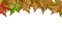 Autumn colored leaves isolated on white background. Autumn colored leaves isolated on white royalty free stock image