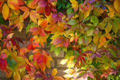 Parthenocissus tricuspidata on a ancient brick wall. Autumn colored leaves. Parthenocissus tricuspidata on a ancient brick wall Stock Images