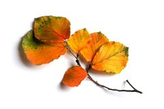 Autumn colored leaves. Small branch with autumn colored leaves on white background royalty free stock photography