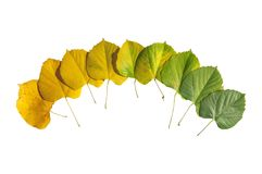 Free Autumn Colored Leaves Transition From Green To Yellow Isolated Royalty Free Stock Photo - 106724565