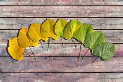 Free Autumn Colored Leaves Transition From Green To Yellow On Wood Royalty Free Stock Photography - 106725917