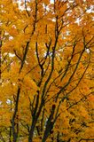 Autumn colored leaves on the tree with black trunks. royalty free stock photography