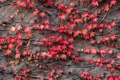Autumn colored leaves stock images
