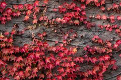 Autumn colored leaves. On wall royalty free stock image