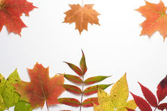 Autumn Colored Leaves on White Background Royalty Free Stock Photos