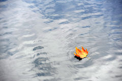 An autumn colored maple leaf on lake Stock Photography
