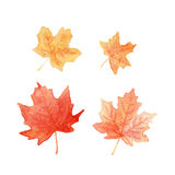 Autumn colored maple leaves. Set watercolor painting Stock Image