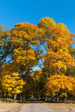 Autumn colored maple trees Royalty Free Stock Photos