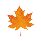 Autumn colored red maple leaf Stock Images