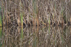 Autumn colored reeds reflecting giving beautiful reflection in f. Reed reflection horizontal in the forest pond royalty free stock photography