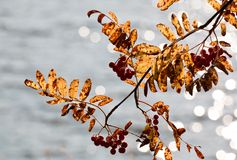 Autumn colored rowan leaves and berries Royalty Free Stock Photos