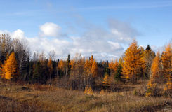Autumn colored tamaracks Royalty Free Stock Images