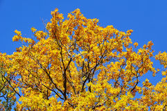Autumn colored tree Stock Photos