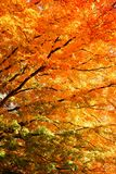 Autumn colored Tree, green, yellow, orange. A tree clad in Autumn colors. A gradient of green, yellow to orange Stock Photo