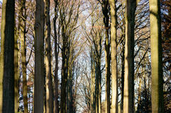 Autumn colored tree lane. With row of trees on both sides on a cold morning Royalty Free Stock Images